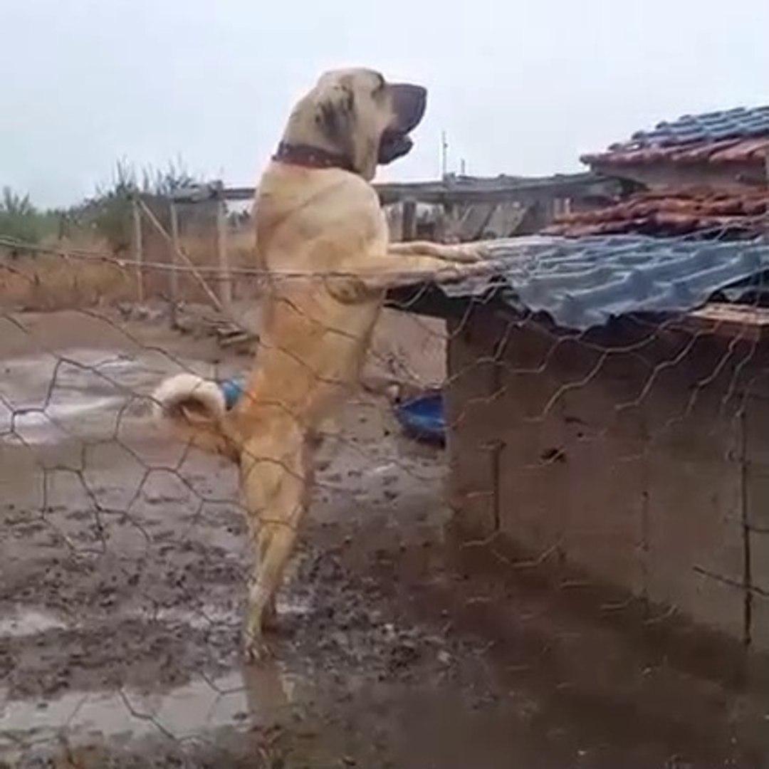 DEV MALAKLI COBAN KOPEGi GOZLER HEDEFiNDE - GiANT MALAKLI SHEPHERD DOG