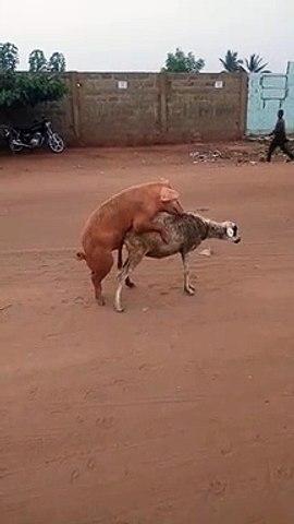 Togo : cette vidéo montrant un cochon qui chevauche un mouton choque la toile