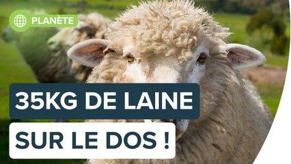 À quoi ressemble un mouton errant ?   Futura