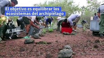 Liberan tortugas gigantes en Galápagos