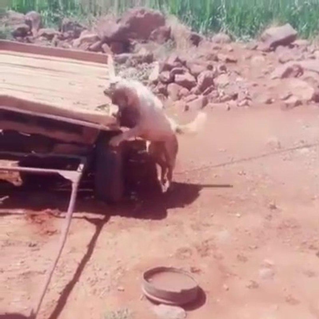 AT ARABASININ YERiNDE ADAM OLSA VARIN SiZ DUSUNUN - VERY ANGRY KANGAL SHEPHERD DOG