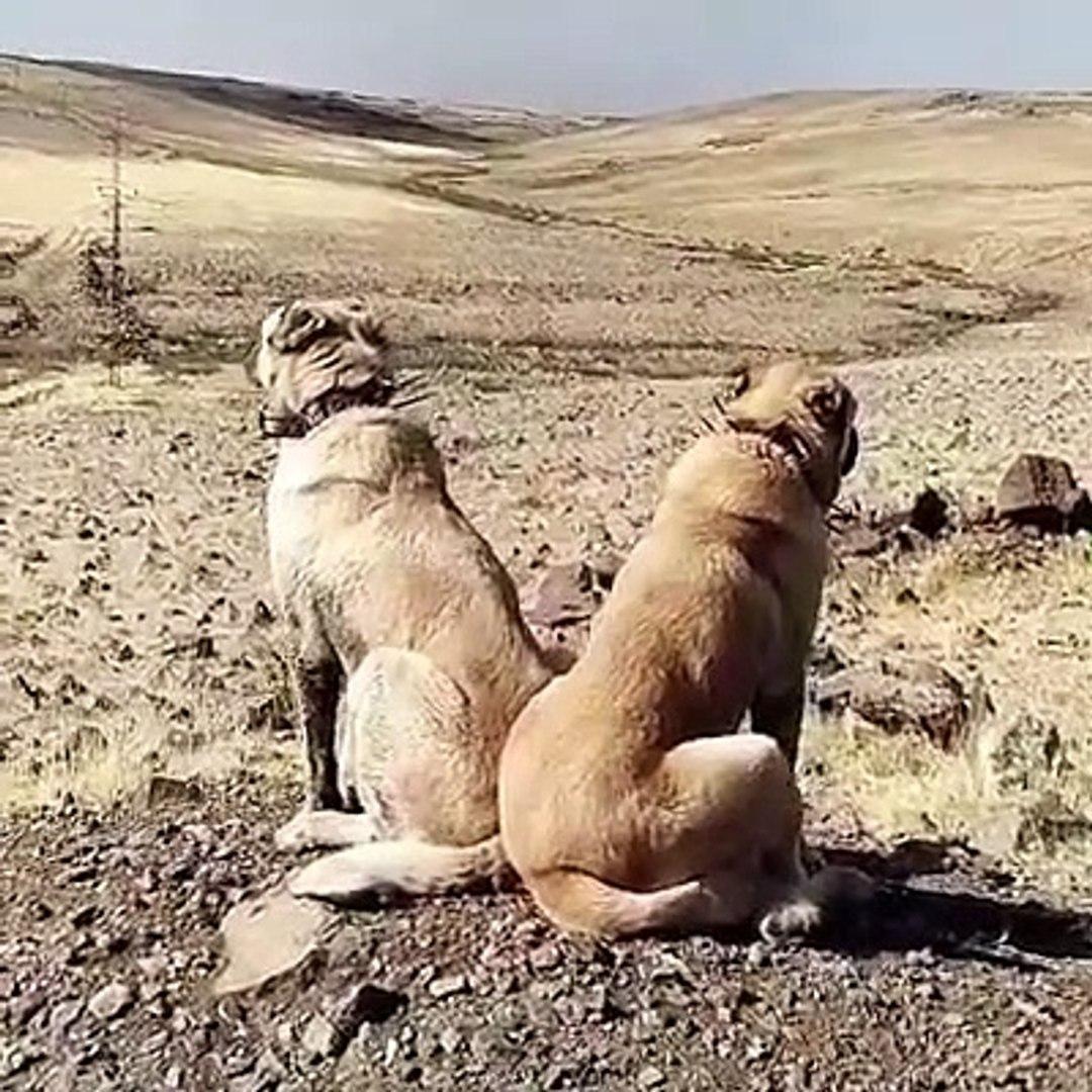 KANGAL KOPEKERi HAZIR KITA GOREV BASINDA - KANGAL SHEPHERD DOGS READY CONTiNENT