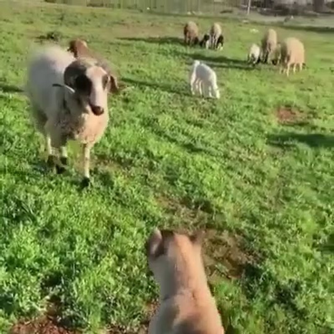 KOC ve COBAN KOPEGi KARSILASINCA - RAM VS SHEPHERD DOG PUPPY