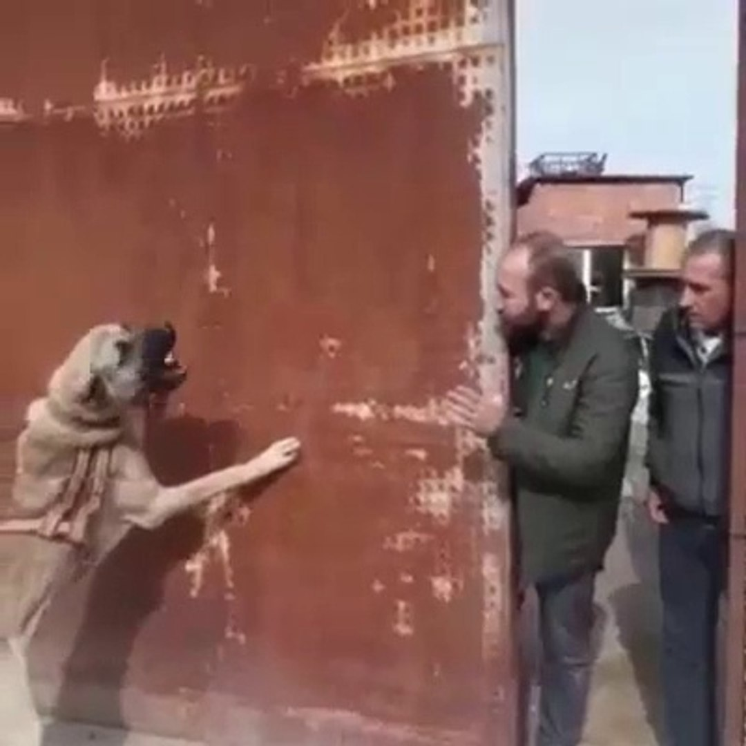 COBAN KOPEGiNE UZAKTAN ATAR - ANATOLiAN SHEPHERD DOG VS PEOPLE