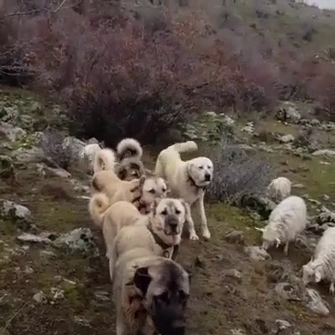 KANGAL ve COBAN KOPEKLERi GOREV BASINDA - KANGAL and ANATOLiAN SHEPHERD DOGS