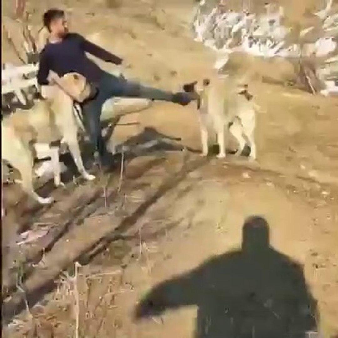 KANGALIN GELiSi BiLE KORKUTUYOR - KANGAL SHEPHERD DOGS