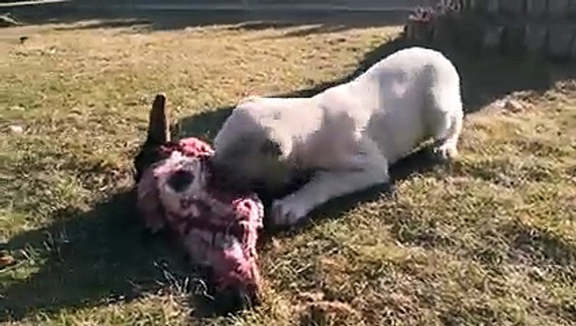 ALABAY YAVRUSUNA BUYUK ZiYAFET - ALABAi SHEPHERD DOG PUPPY MEAT EATiNG