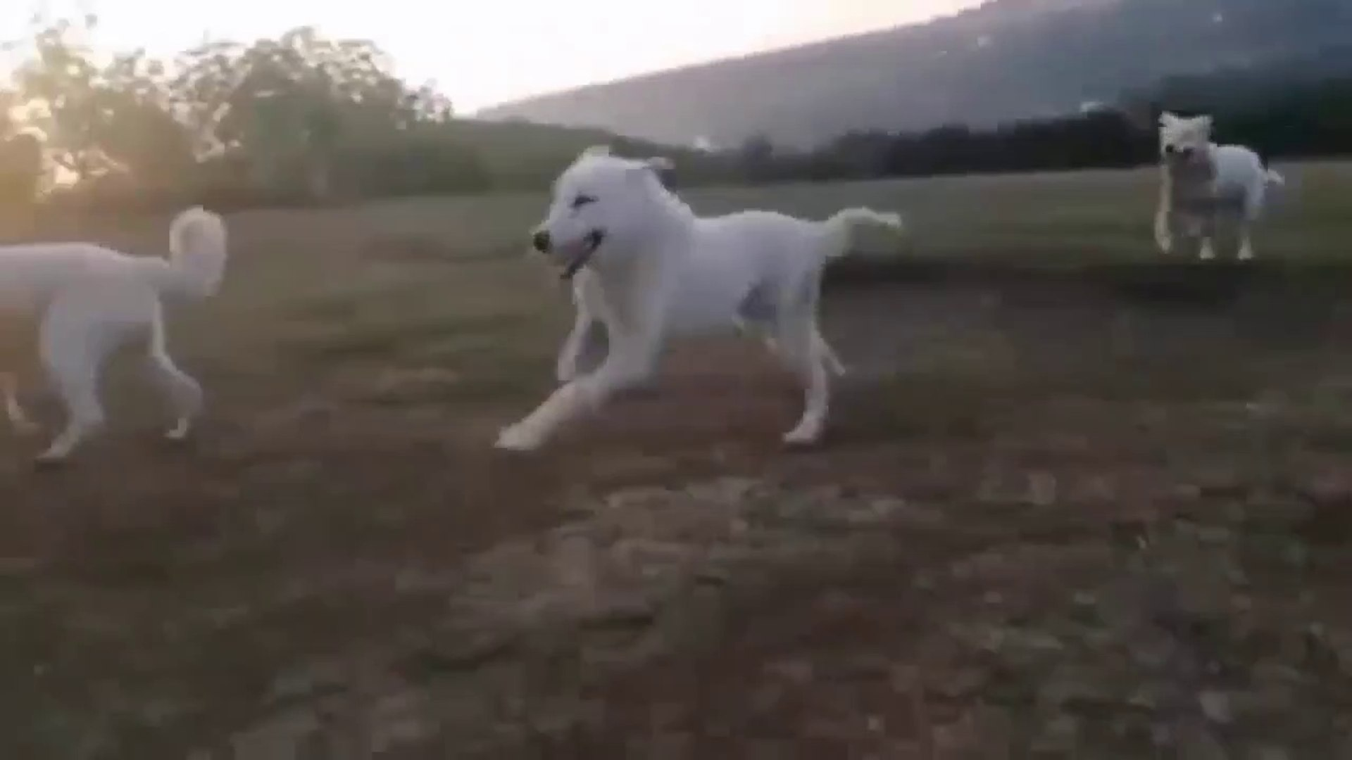 AKBAS COBAN KOPEKLERiYLE GEZiNTi - AKBASH SHEPHERD DOG with WALK