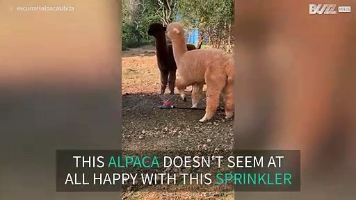 Alpaca not satisfied with sprinkler system