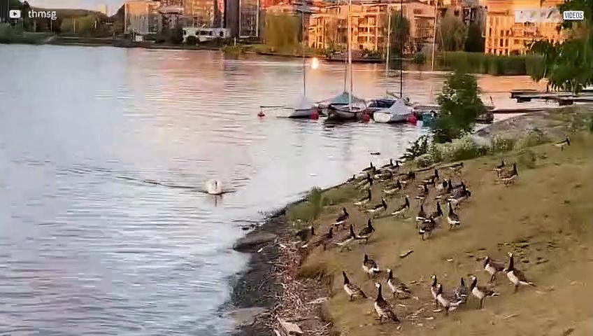 Bossy swan runs geese off lake