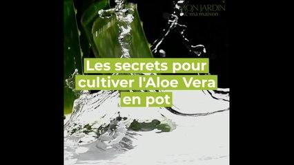 Comment cultiver l'Aloe Vera en pot ?