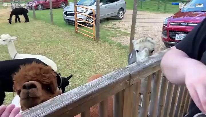 Onhandige alpaca mist voer