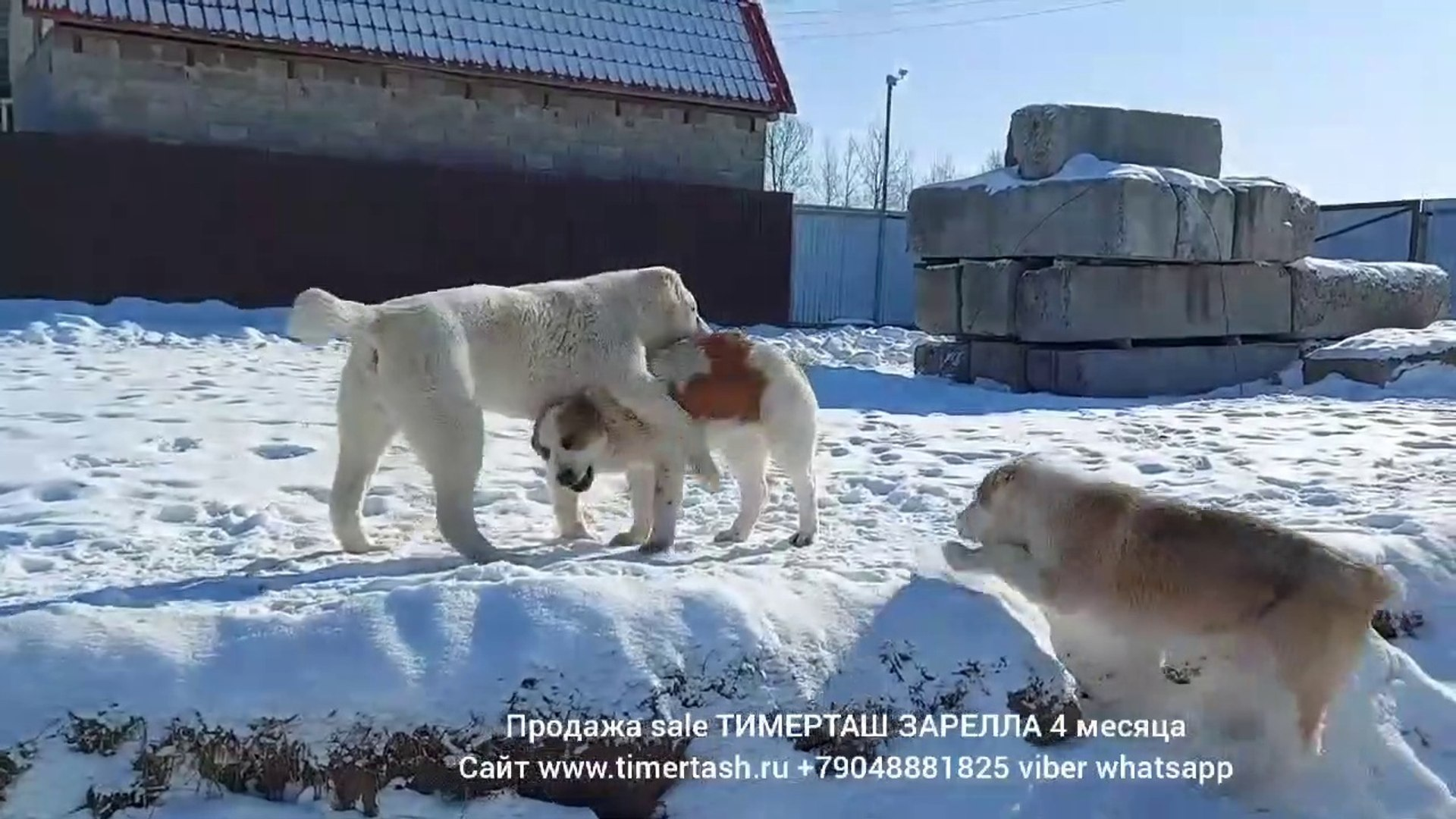 ALABAY YAVRULARININ KAR OYUNU - ALABAi SHEPHERD DOG SNOW GAMES