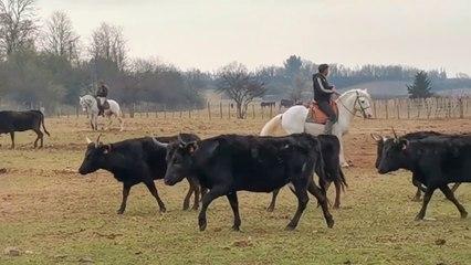 Le Cailar : stage de tri de bétail avec Renaud Vinuesa