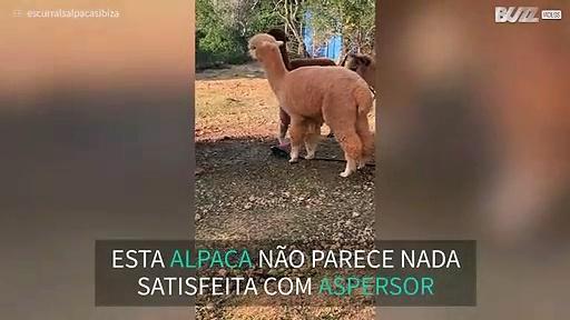 Alpaca tenta destruir aspersor!