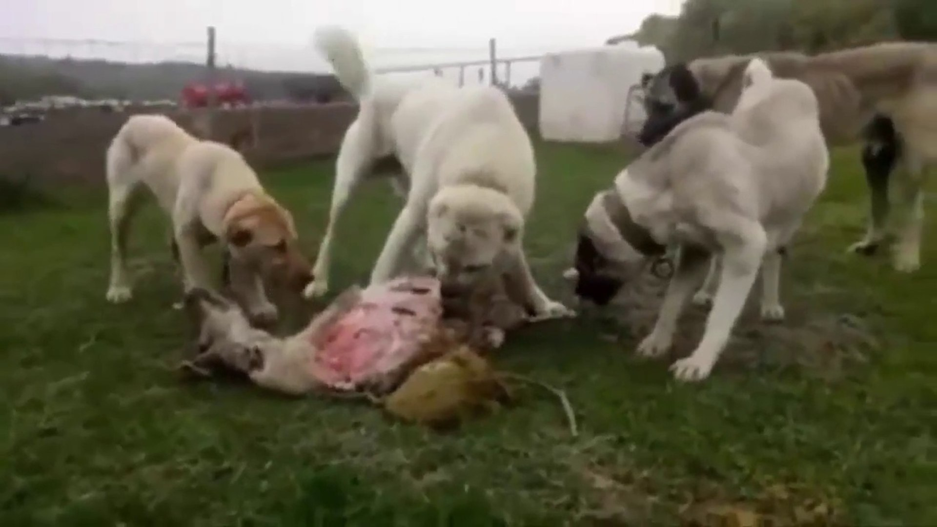 COBAN KOPEKLERi ve KANGALLAR OGLE YEMEGiNDE - SHEPHERD DOGS and KANGAL DOG LUNCH