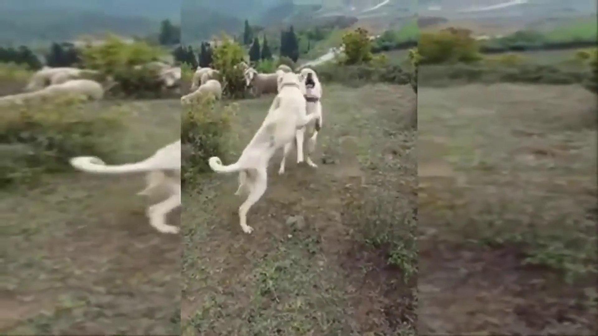 AKBASH COBAN KOPEKLERi GOREV ARASI OYUN - AKBASH SHEPHERD DOGS