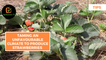 Tips: Taming an unfavourable climate to produce strawberries