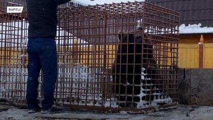 Bear wanders around Siberian city after hotel breakout