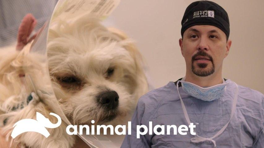 Filhote hermafrodita surpreende os veterinários | Veterinários do Texas | Animal Planet Brasil