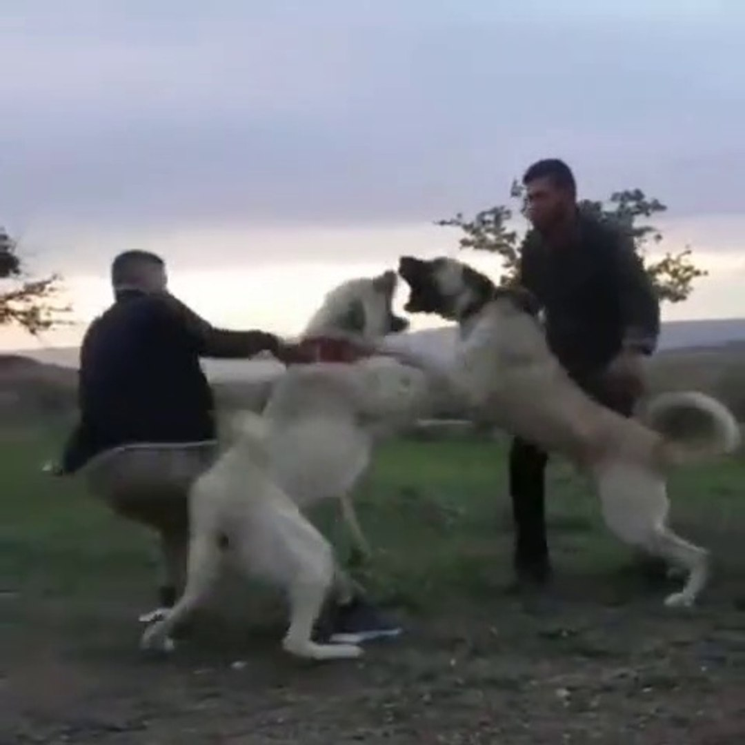 2 ASLAN MEYDANDA KARSILASTI ATISMA YAPTI - SHEPHERD DOGS VS