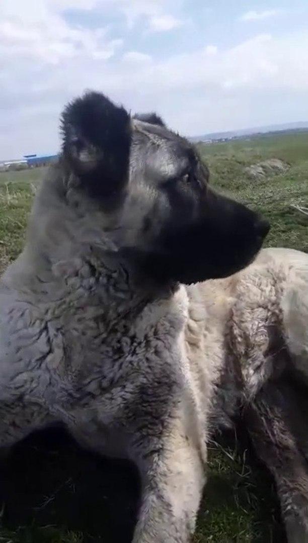 SU SURATI GOREN COCUKLARIN DiLi TUTULUR - ANATOLiAN SHEPHERD DOG PUPPY