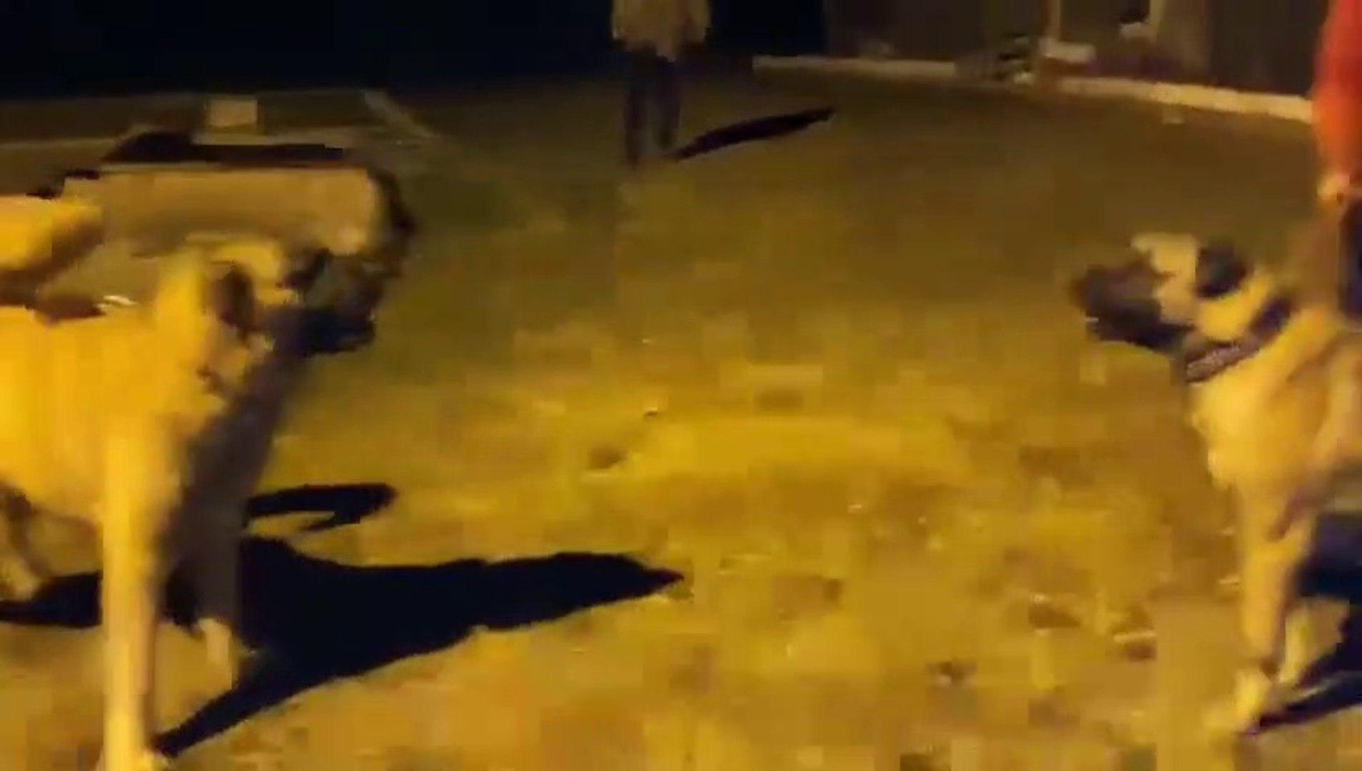 GECE 2 YiGiT MEYDANDA ATISMA - 2 ANATOLiAN SHEPHERD DOG VS