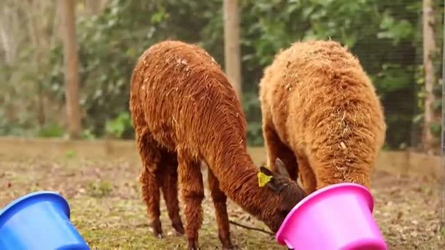 El zoo de Londres busca nombre para sus tres alpacas machos