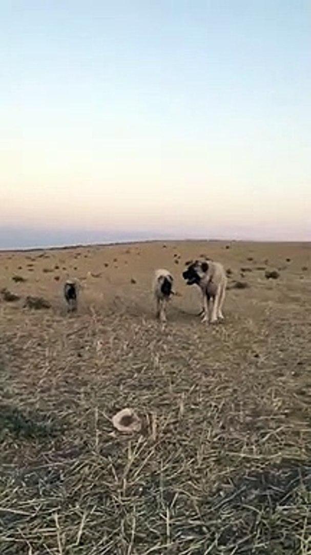 KARABAS COBAN KOPEKLERi MERA GEZiNTi - BLACK HEAD SHEPHERD DOG WALK