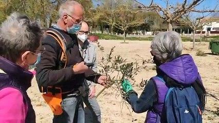 Montfrin : initiation à la taille des oliviers avec Alain Selme