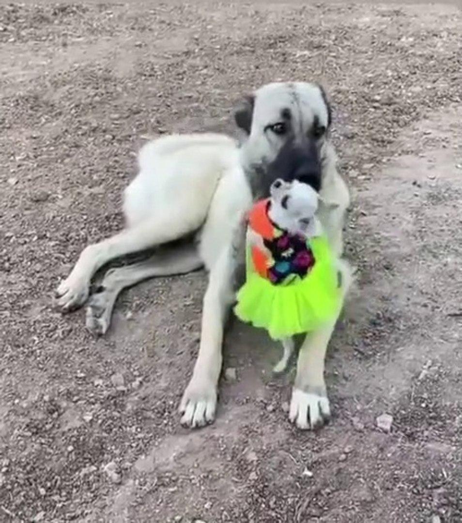 KANGAL KOPEGi ve SEViMLi SiVAVA KOPEGi - KANGAL DOG and CUTE CHiHUAHUA DOG
