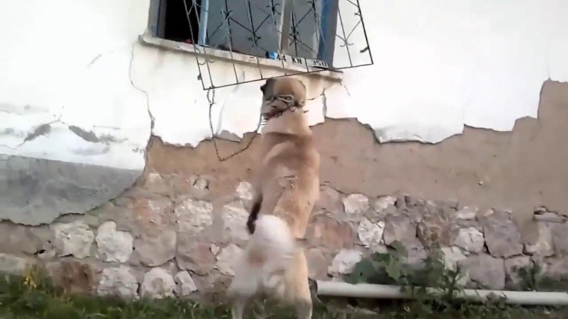 COBAN KOPEGiNiN GUCUNE KORKULUKLAR DAYANAMADI - ANATOLiAN SHEPHERD DOG
