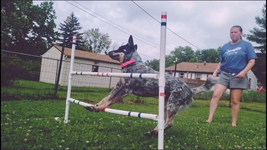 Dog Fails To Cross Hurdle While Doing Agility Jump Training
