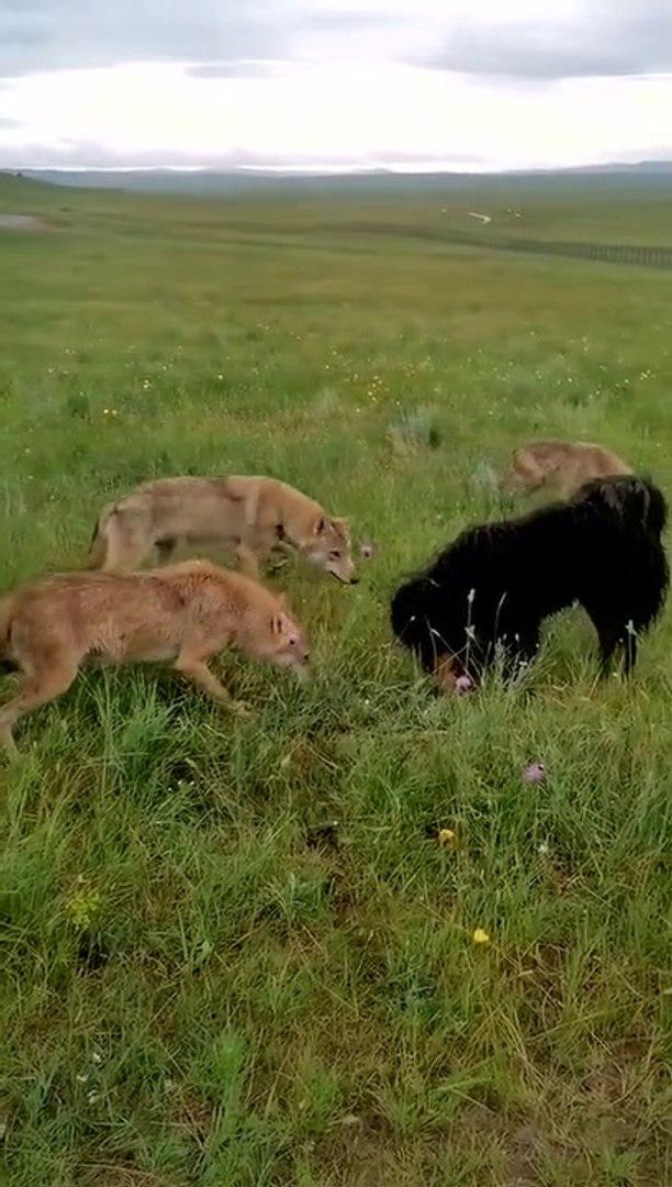 KURTLAR VS TiBET MASTiFi COBAN KOPEGi - WOLVES VS TiBETiAN MASTiFF SHEPHERD DOG