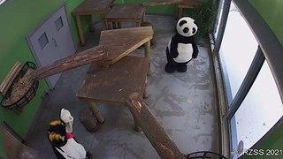 A Panda and Penguin at Edinburgh Zoo enjoy a read of the Edinburgh Evening News yesterday