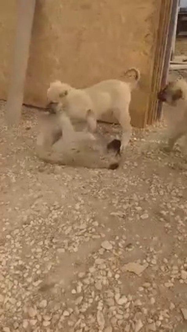 ASLAN KRAL YAVRULARI MASALLAH - ANATOLiAN SHEPHERD DOG PUPPiES