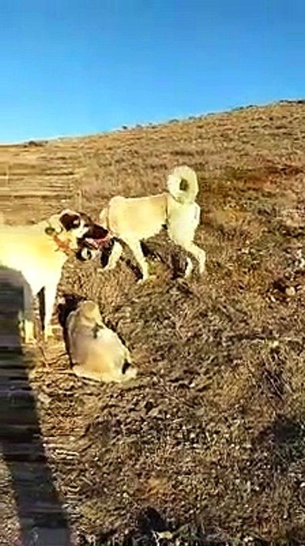 AKBAS, KANGAL, COBAN KOPEGi HEPSi BiRARADA - AKBASH, KANGAL, SHEPHERD DOG TOGETHER