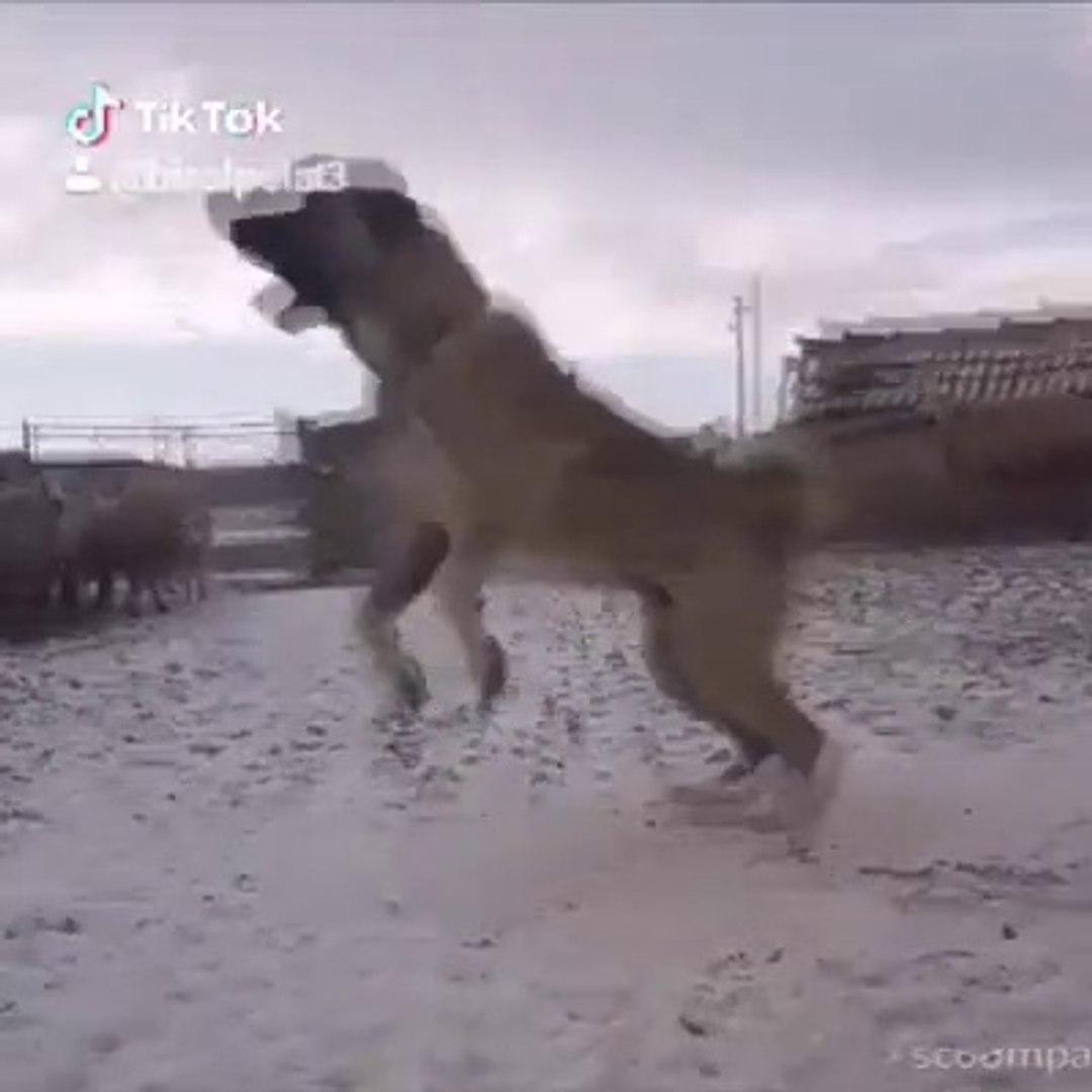 MEKANDA FUL ADAMCI KANGAL KOPEGi - ANGRY KANGAL SHEPHERD DOG