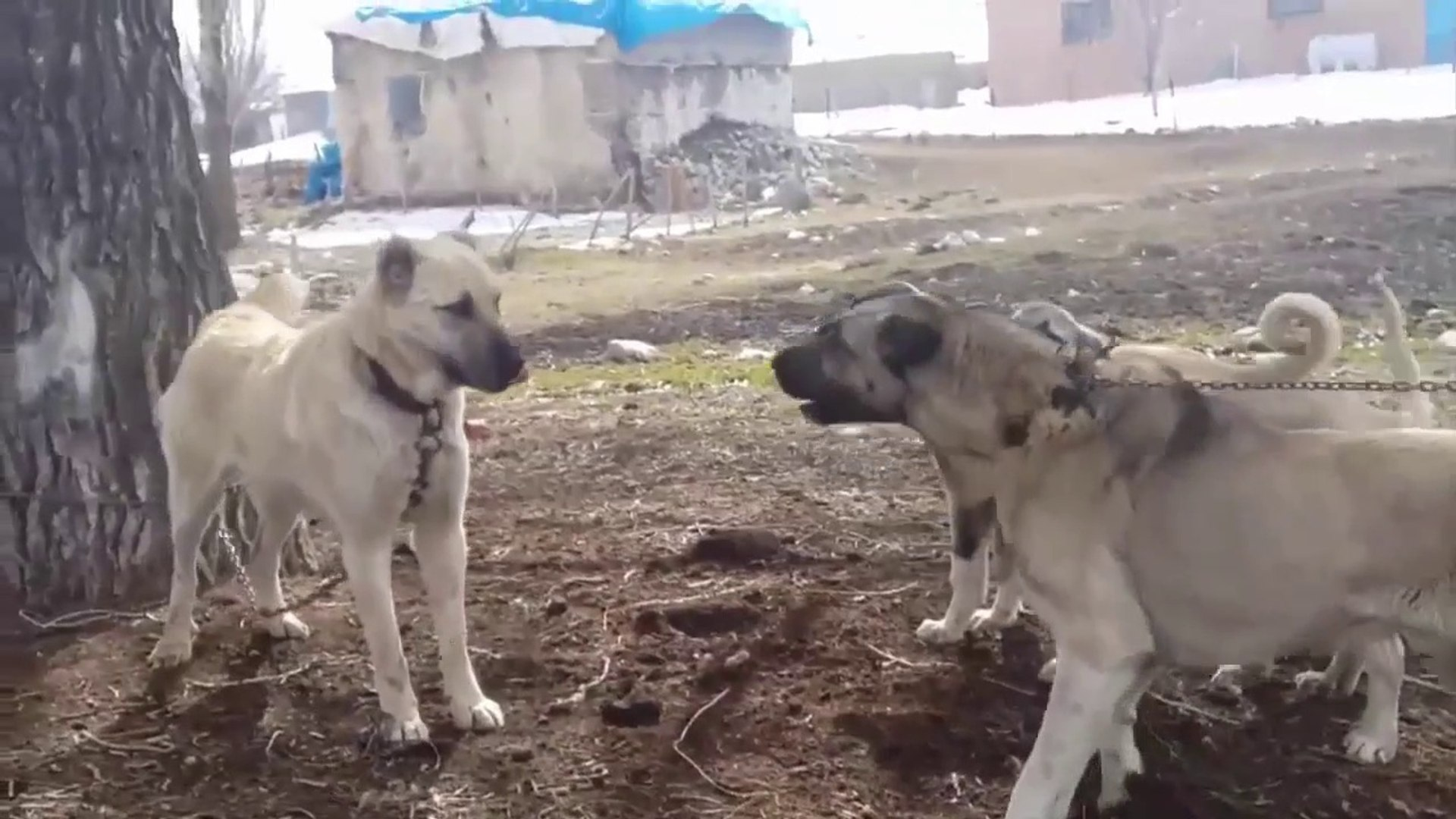 COBAN KOPEGi YAVRULARI ERKEKLESiYOR - SHEPHERD DOG PUPPiES VS
