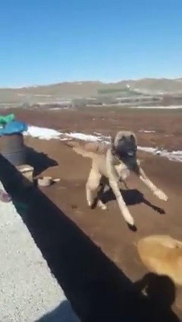 ASLAN KIZMIS YAKLASMA DiYOR - ANGRY ANATOLiAN SHEPHERD DOG