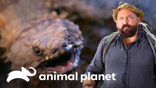 Conoce al lagarto armadillo: un pequeño dragón   Pequeños Gigantes de la Naturaleza   Animal Planet