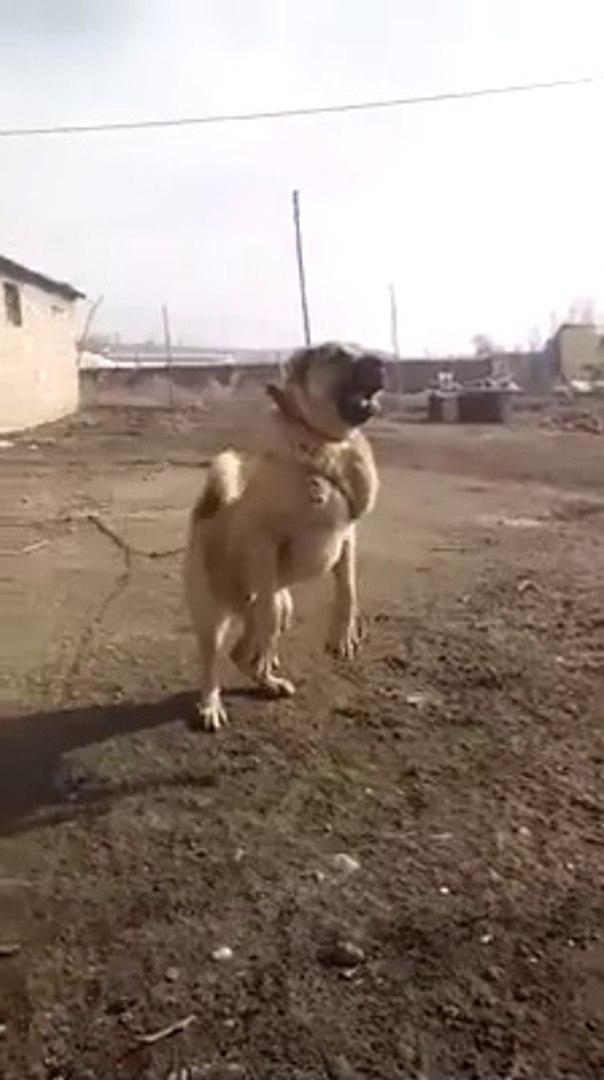NADiR BULUNAN ADAMCI COBAN KOPEGi - VERY ANGRY ANATOLiAN SHEPHERD DOG