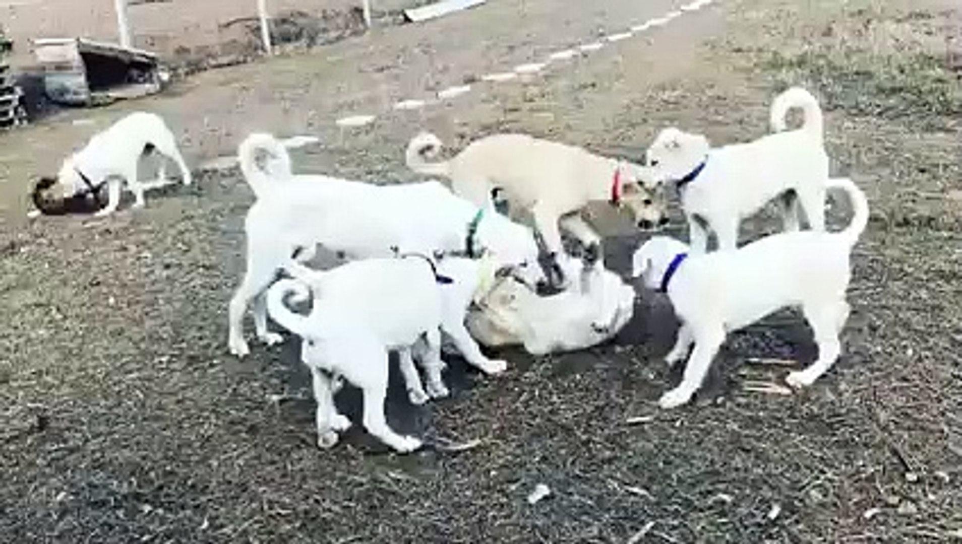 YAVRU AKBAS KOPEKLERi OYUNDA - AKBASH SHEPHERD DOG PUPPiES