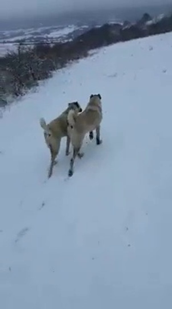 KANGAL KOPEKLERi ve SON KAR - KANGAL SHEPHERD DOGS and SNOW