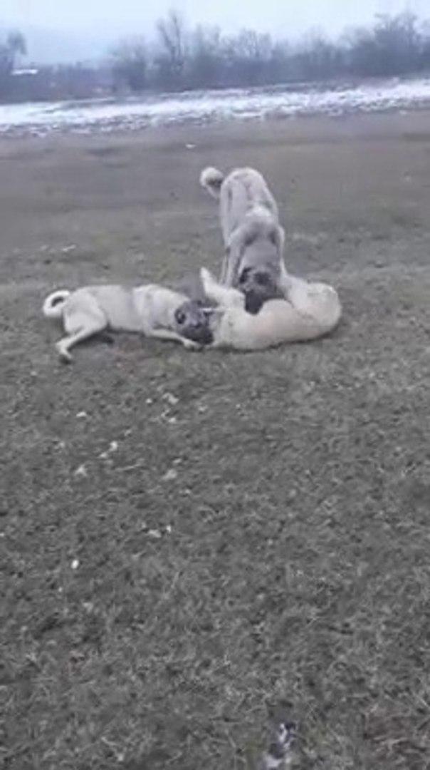 KANGAL KOPEKLERi OGLEN ARASINDA MOLA ve OYUN - KANGAL SHEPHERD DOGS