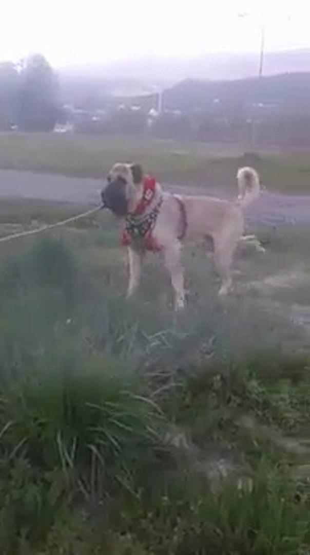 NADiR DEVLERDEN ANADOLU COBAN KOPEGi - GiANT SHEPHERD DOG