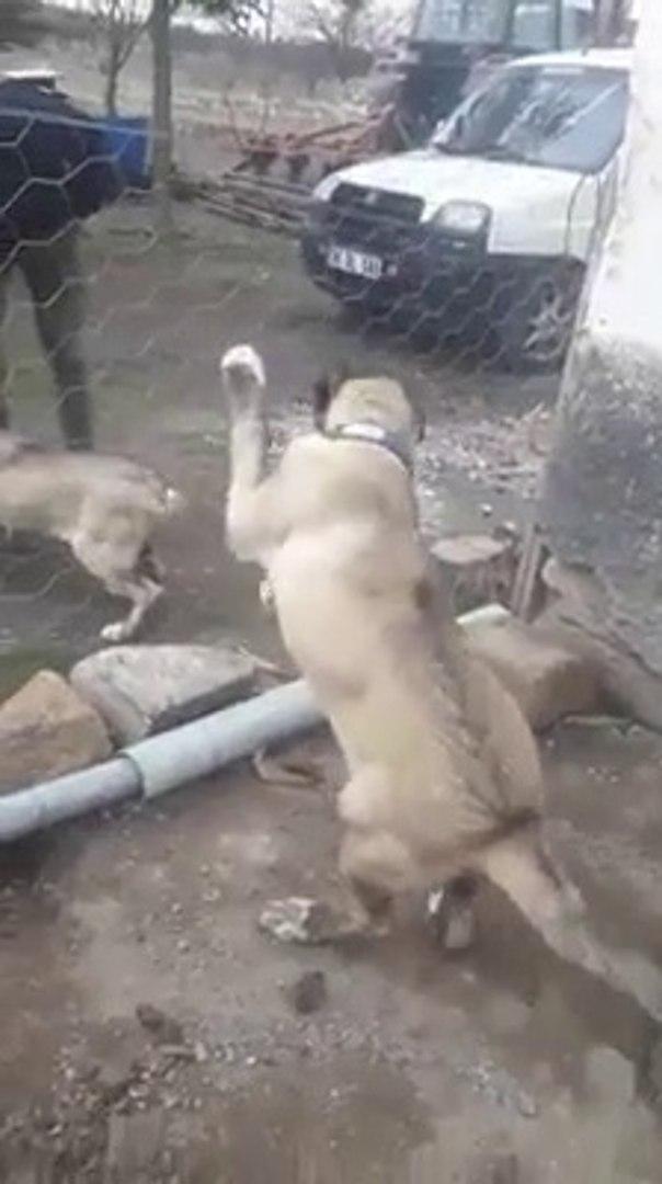KENDiNE YENi ARKADAS EDiNEN COBAN KOPEGi YAVRUSU - SHEPHERD DOG PUPPY and FRiEND