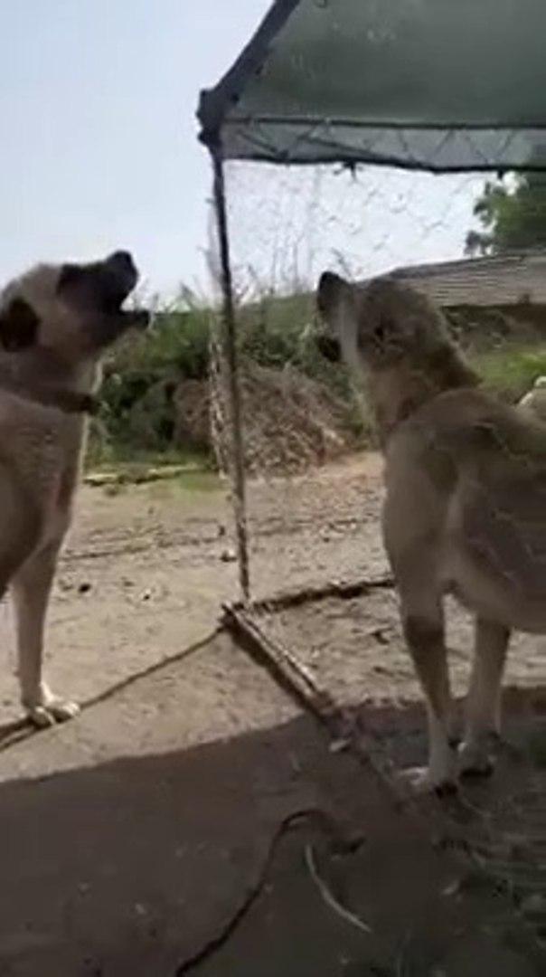KANGAL KOPEKLERi iNCE iNCE ATISIYOR - KANGAL SHEPHERD DOGS VS