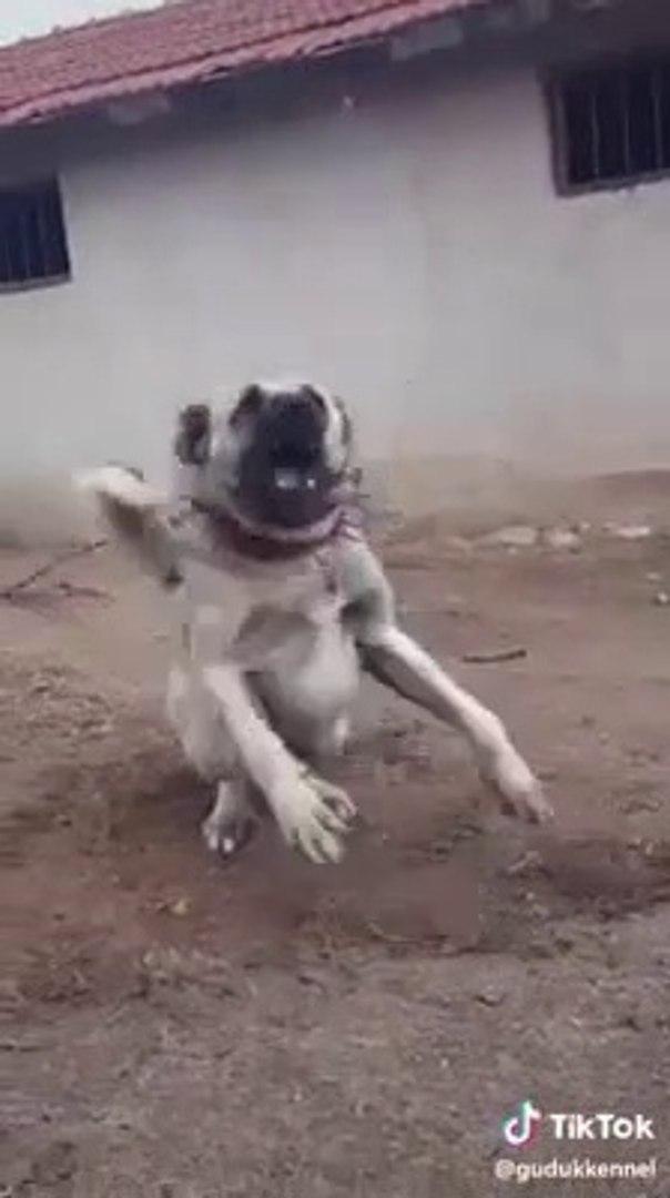GUZEL TURKiYEM ve ADAMCI KANGAL KOPEGi - VERY ANGRY KANGAL DOG