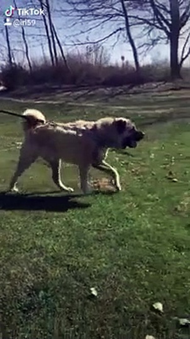 DEV COBAN KOPEGi ile GEZiNTiYE CIKMAK - GiANT SHEPHERD DOG with WALK